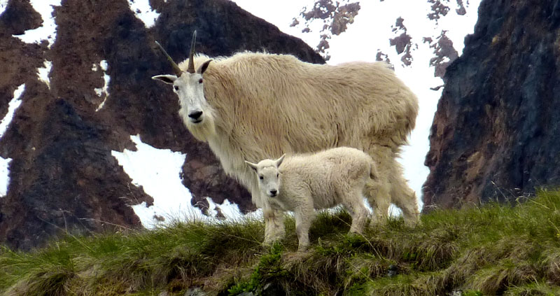 mountain goat facts and photos near Smithers BC Canada