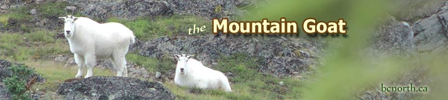 facts photos and video of mountain goats